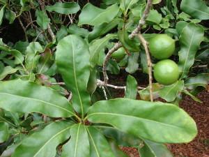Giống Macadamia Integrifolia (Mắc Ca Lá Nhẵn)