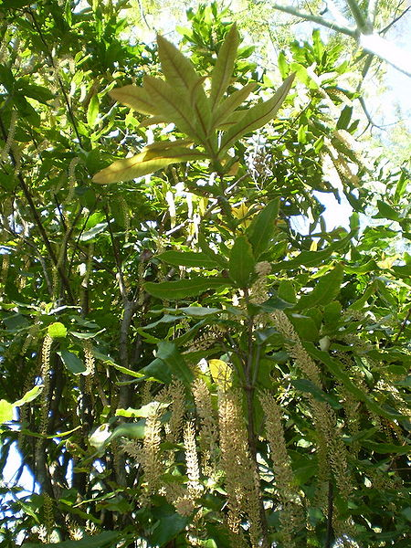 Giống Macadamia Tetraphylla (Mắc Ca Bốn Lá)