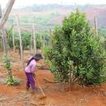 Kỹ thuật trồng, chăm sóc cây mắc ca