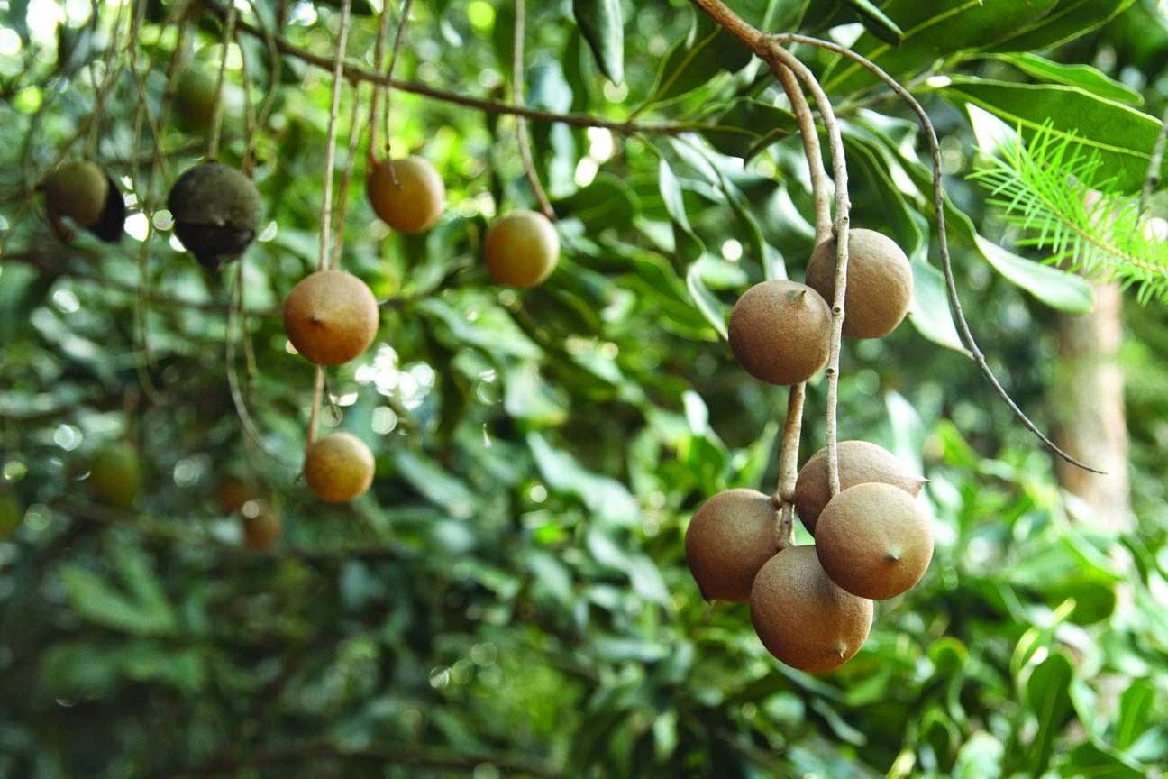 Giống Macadamia Neurophylla (Mắc Ca Virotia Neurophylla)